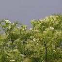 arbuste de sureau noir