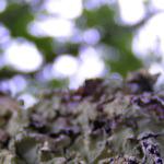lichen-ciel