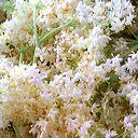 ombelle fleurs