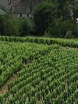vigne  en  bourgogne