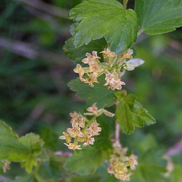 Le Cassissier Arbuste Des Talus