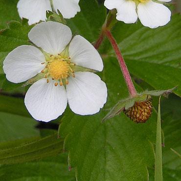 La Fraise Des Bois Fleurs Des Talus