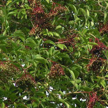 Sureau noir, Sambucus nigra Grains-sureau