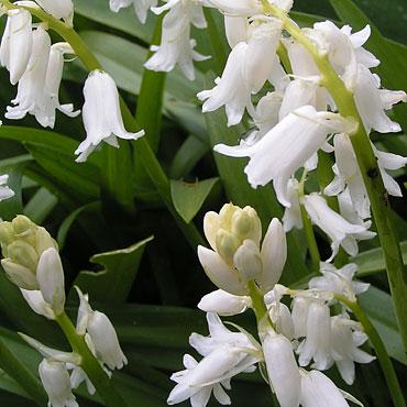 jacinthe des bois blanche