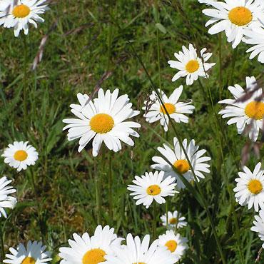 La Marguerite Fleurs Des Talus