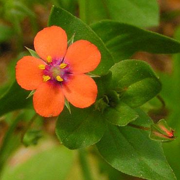 fleur de mouron rouge