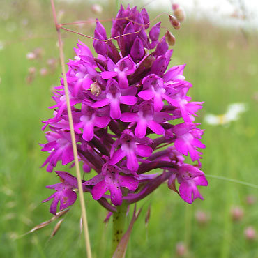 http://luxe.campagne.free.fr/images/orchis-pyramidal.jpg