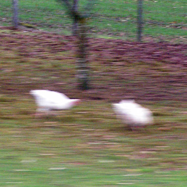 poules blanches