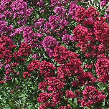 ces plantes qui font du bien. Valeriane-fleurs