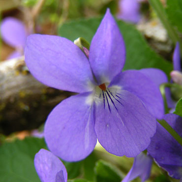 la violette odorante